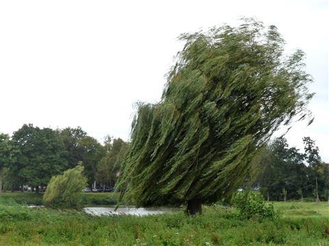 Windgebeutelte Trauerweide bei Triesdorf