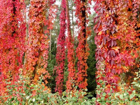 Herbstvorhang