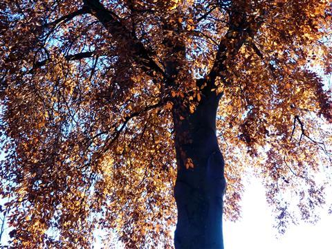 Herbstliche Rotbuche im Gegenlicht