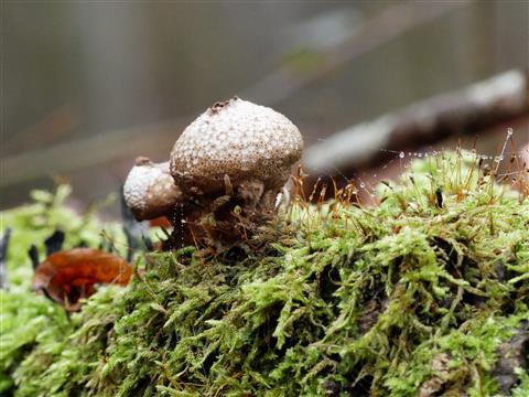 leerer Bovist im Wald