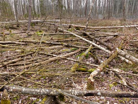 im Biberwald bei Großbreitenbronn