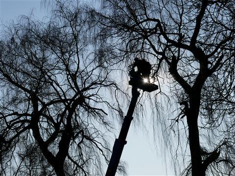 Trauerweidenbaumschnitt