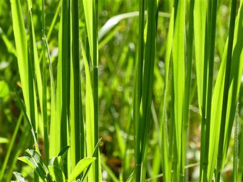 Grasgrünes Gras