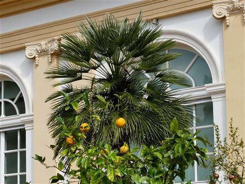 Ansbach Hofgarten Palme vor Orangerie