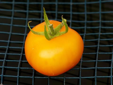 Tomate gelb