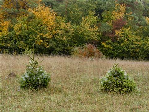 Weihnachtsbäume im Oktober