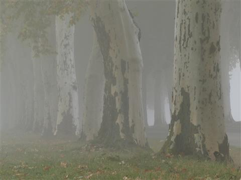 Nebelmorgen bei den alten Platanen bei Triesdorf