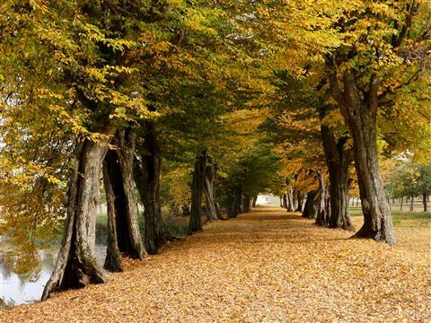 Alte Buchenallee in wunderschöner Herbstfärbung - Triesdorf