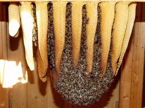 Bienenvolk im Naturbau - Triesdorf