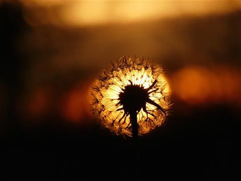 November-Pusteblume zwischen Tag und Nacht