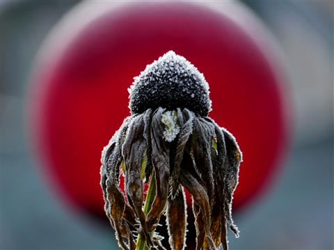 verblühte angereifte Rudbeckiablüte