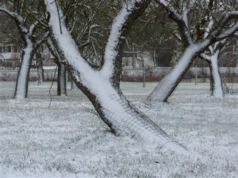 frischer Schnee in Streuobstanlage
