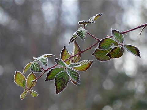 Der Jahreszeit entsprechend-Brombeerblätter leicht angereift