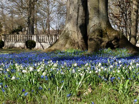 Ellingen Schlosspark Blausternchen und Märzenbecher