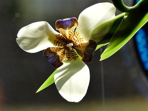 Neomarica northiana - Wander Iris