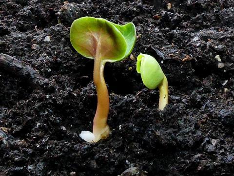 Pflanzenleben beginnt-Sämlinge der Wunderblume