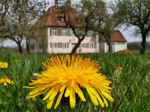 Löwenzahnblüte an Menagerie in Triesdorf