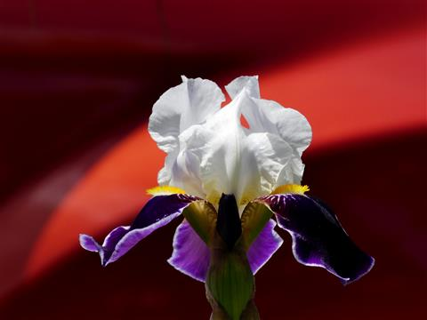 Naturschönheit Schwertlilienblüte