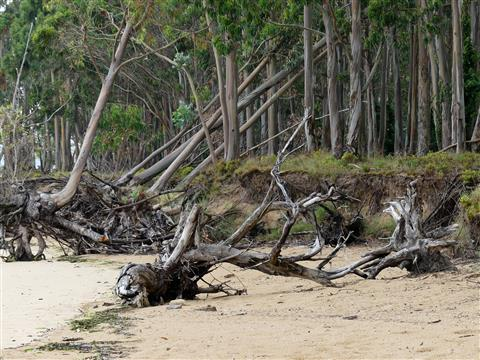Eukalyptuswald am Strand