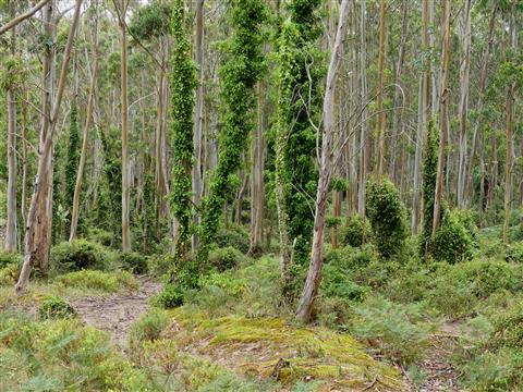 Eukalyptuswald mit Efeu