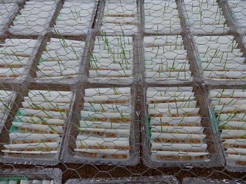 Getreidekeimprobe in Saatzucht Triesdorf
