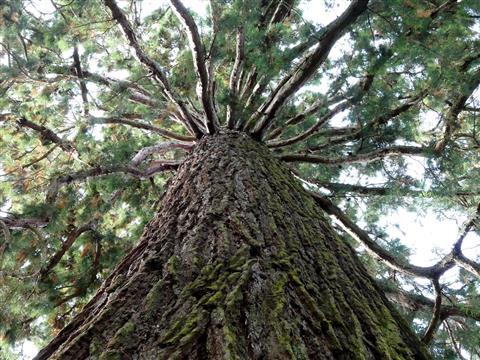 Bergmammutbaum Insel Mainau