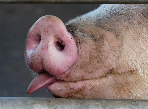 Schweineschnauze