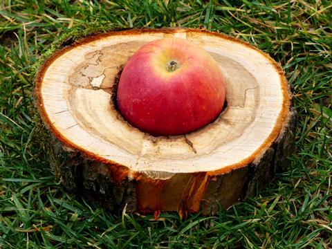 Apfel im Apfelholzring
