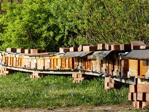 Bienenjungvölker in Triesdorf