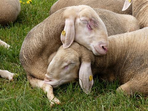 in der Ruhe liegt die Kraft-ruhende Schafböcke in Triesdorf