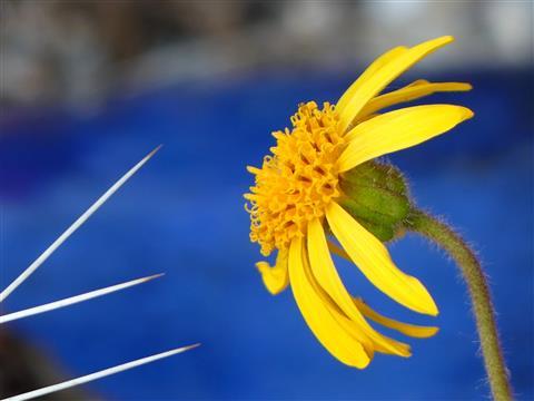 Arnika montana Blüte