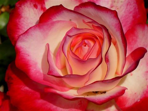 Schönheit einer Rose