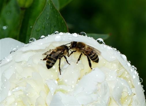 vom Regen überraschte Honigbienen