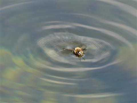 Biene in Seenot