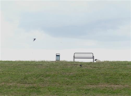 Schwalbenflug am Deich bei Glückstadt
