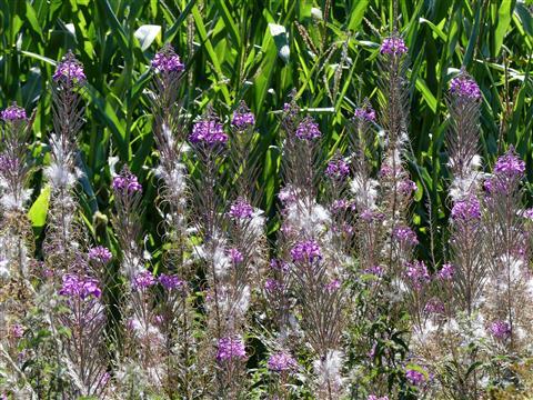 Vorhang aus schmalblättrigen Weideröschen