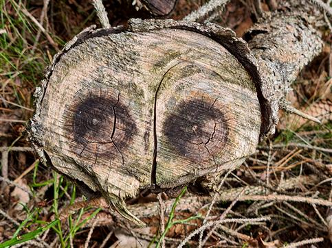 Holzeule passt auf