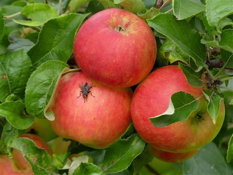 prächtige Äpfel