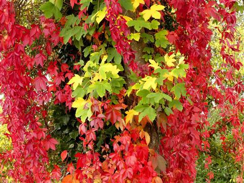 Herbstlicher Vorhang