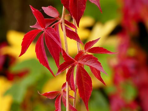 Wilder Wein Herbstfärbung