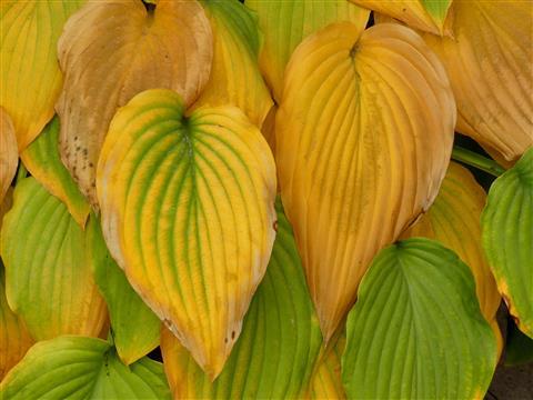 Herbstfärbung der Funkienblätter