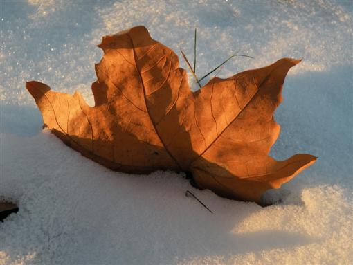 Platanenblatt im Schnee