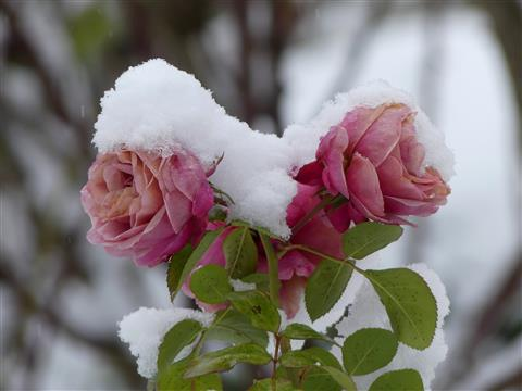 Schneerosen