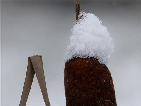 Schneehaube auf Rohrkolben