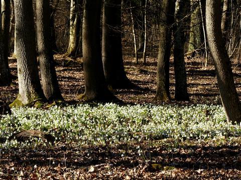 Märzenbecher-Frühlingsknotenblume