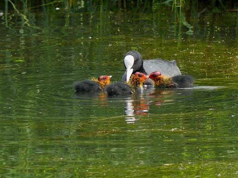 junge Bläßhühner betteln um Futter