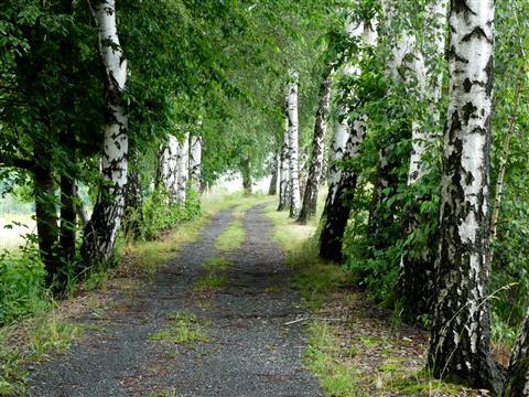 Birkenallee bei Albernau