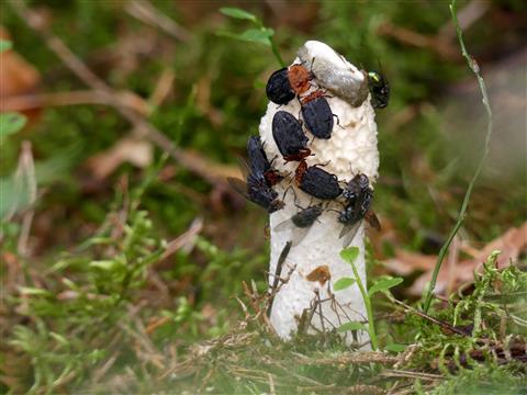 Rothalsige Silphe und Fliegen auf Stinkmorchel