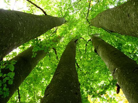 Blick ins Blätterdach