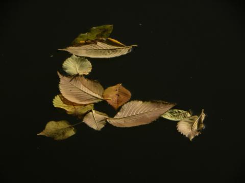 ruhig treibende Blätter